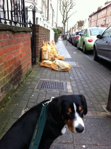 Alfie Entlebucher Morning Walk