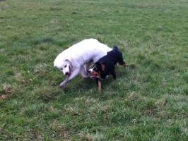 Alfie Entlebucher plays with Oscar