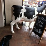 Alfie Entlebucher at the butchers, scared of cow
