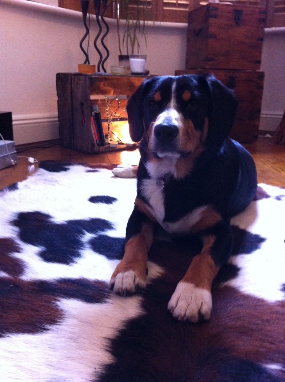 Entlebucher Mountain Dog Puppy Alfie