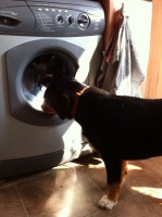Alfie Entlebucher Mountain Dog Puppy washing machine