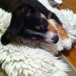 Alfie Entlebucher on Sheepskin