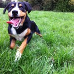 Dog_running_Entlebucher-mountain-dog