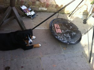 Dog starring at sausages on barbeque, BBQ