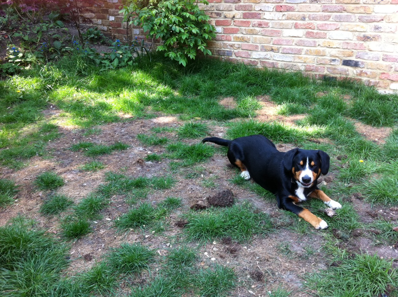 Dog laying on grass with brown patches from dog urine