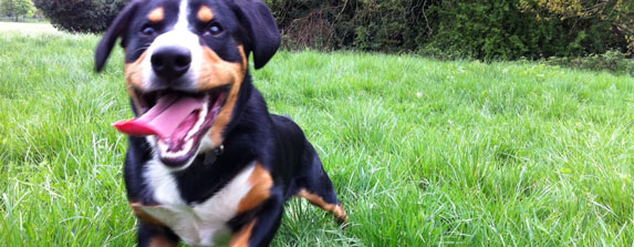 Entlebucher Mountain Dog Running Alfies Blog
