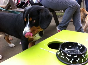 Entlebucher Dog eating birthday cake and licking his mouth