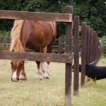 Alfie-Entlebucher-dog-and-horse