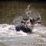 Alfie-Entlebucher-dog-shaking-off-water-swimming