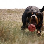 Alfie-Entlebucher-dog-chasing-ball