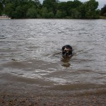 Alfie-Entlebucher-dog-swimming-in-thames