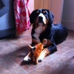 Alfie-entlebucher-dog-with-toy-lion
