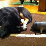 Entlebucher puppy Alfie and his toy pig
