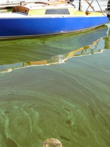 One of the many ways blue green algae can look in the water