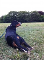 alfie-Entlebucher-dog-lying-down-in-park