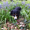 Alfie the Entlebucher Dog discovers he has hay fever