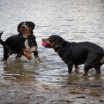 alfie-queenie-entlebucher-mountain-dogs-playing-in-water-with-ball