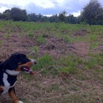 alfie-entlebucher-and-deer