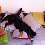 alfie-entlebucher-comfy-on-the-sofa