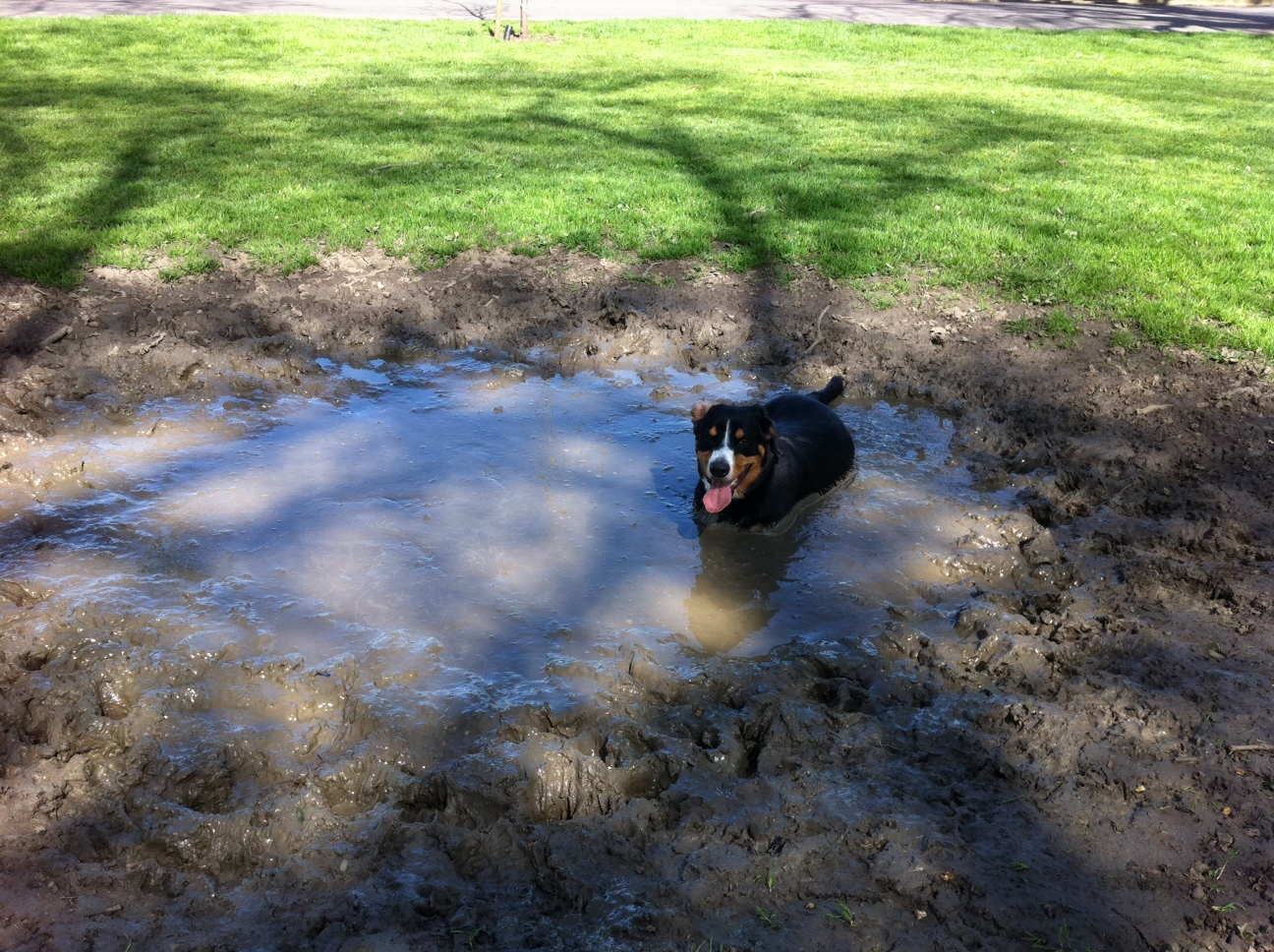 Alfie Entlebucher in a mud puddle