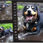 Alfie Entlebucher Playing in Mud