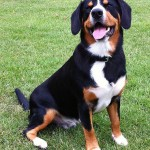 Alfie Entlebucher Striking a pose for Friday Foto Fun