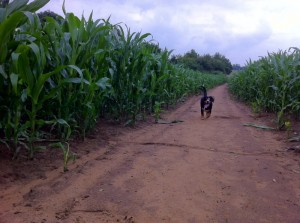 Alfie Entlebucher sniffing in corn field