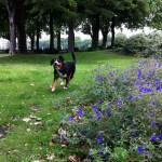 Alfie-Entlebucher-Blue-Flowers