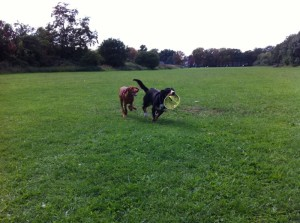 Alfie runs with frisbee