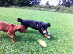 Alfie Entlebucher playing with friend and frisbee