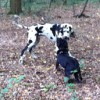 Alfie-entlebucher-meets-great-dane-200px