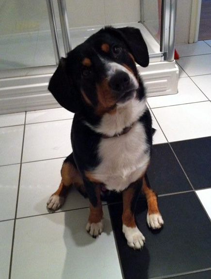 Archie-Entlebucher-Needs-a-new-home