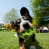 Alfie Entlebucher Dog Photographer of the Year Submission