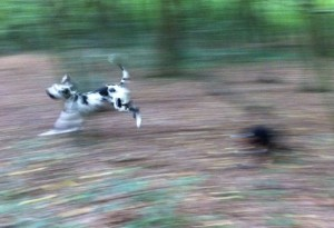 alfie-entlebucher-chasing-great-dane