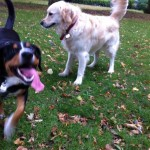 alfie-entlebucher-and-golden-retriever