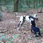 entlebucher-alfie-meets-great-dane