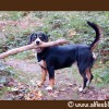 Alfie-Entlebucher-Stick-in-mouth