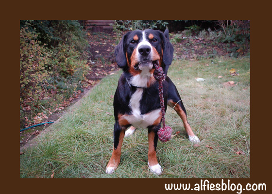 alfie-Entlebucher-toy