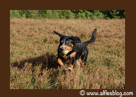 wordless-wednesday-alfie-entlebucher-running-ball