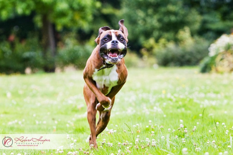 Boxer-Running-Robert-Hooper-dog-photographer-5