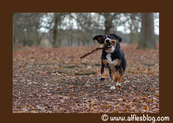 alfie-running-with-stick
