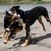 alfie-entlebucher-bella-greater-swiss-mountain-dogs-2559