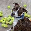 BAttersea-dog-Richie with tennis balls1