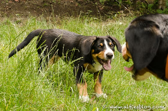 alfie-bella-playing-entlebucher-5577