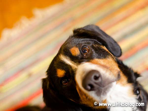 alfie-entlebucher-looking-cute-8277
