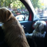Archie and Pino were barking at the traffic to make it go faster