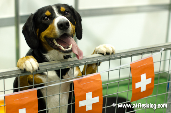 earls-court-discover-dogs-entlebucher-0738