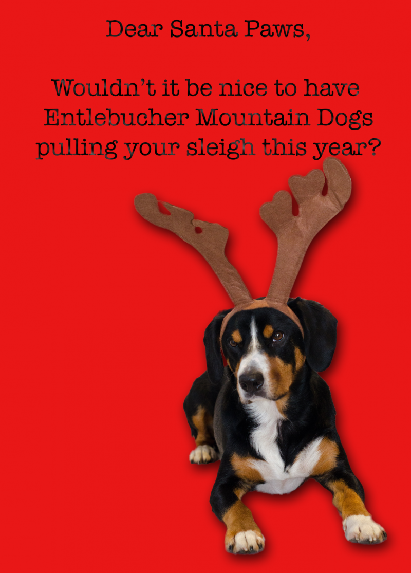 Alfie\'s Christmas Cards - Entlebucher Mountain Dogs Pulling Santa\'s ...