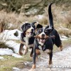 alfie-bella-entlebucher-stick-thief-1-1880