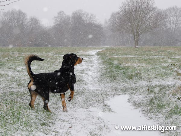 alfie-entlebucher-snow-1341